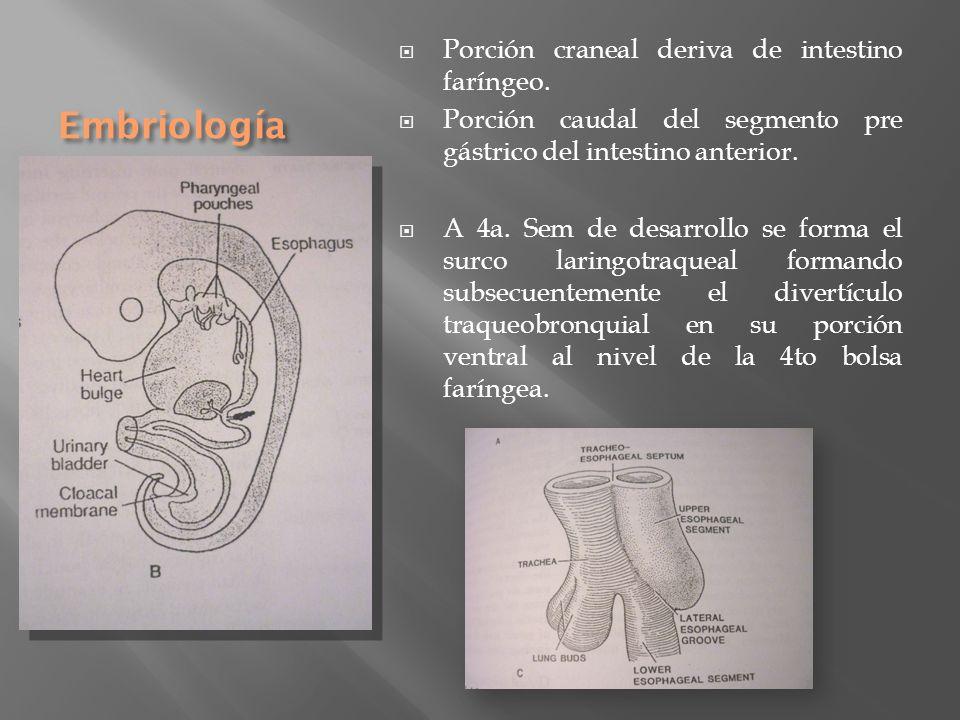 Embriología Porción craneal deriva de intestino faríngeo.
