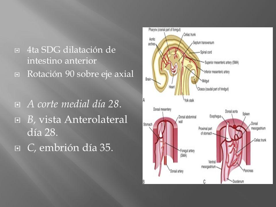 B, vista Anterolateral día 28. C, embrión día 35.