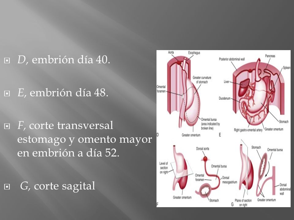D, embrión día 40. E, embrión día 48. F, corte transversal estomago y omento mayor en embrión a día 52.