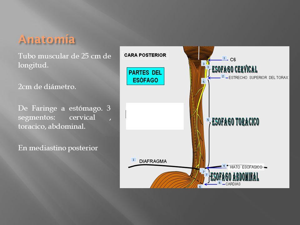 Anatomía Tubo muscular de 25 cm de longitud. 2cm de diámetro.