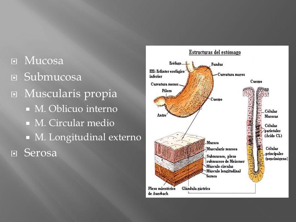 Mucosa Submucosa Muscularis propia Serosa M. Oblicuo interno