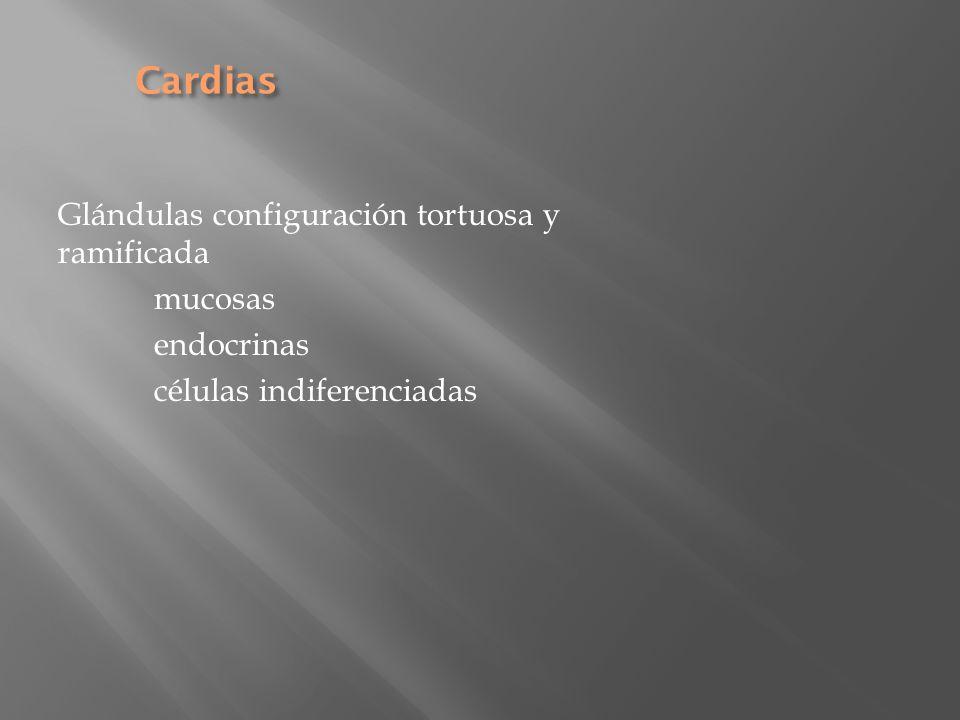 Cardias Glándulas configuración tortuosa y ramificada mucosas
