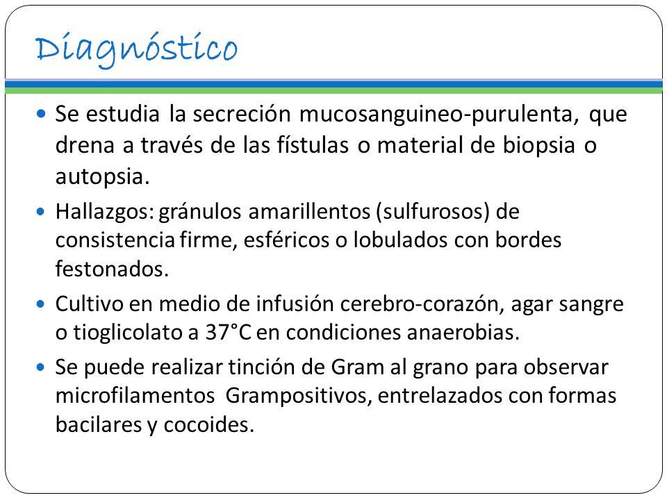 Diagnóstico Se estudia la secreción mucosanguineo-purulenta, que drena a través de las fístulas o material de biopsia o autopsia.