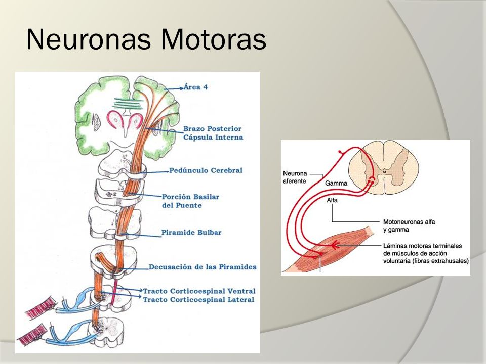 Neuronas Motoras