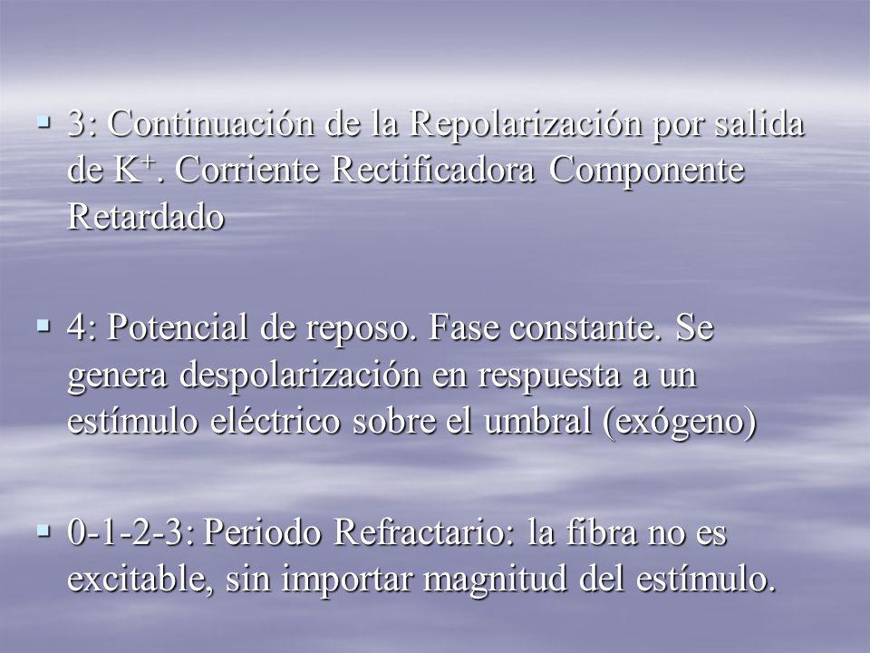3: Continuación de la Repolarización por salida de K+