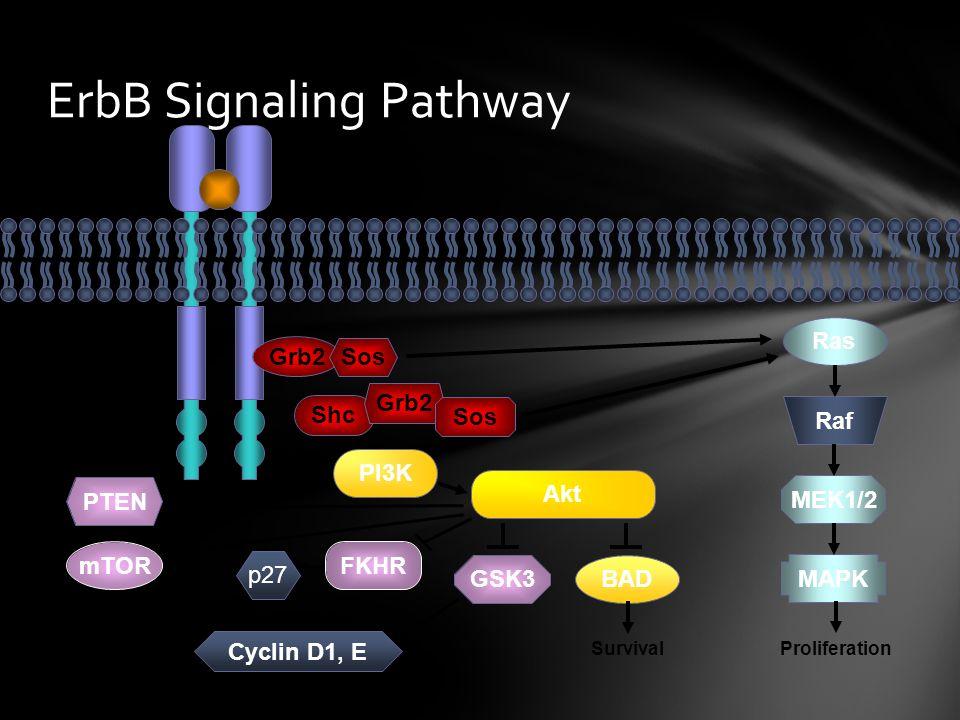 ErbB Signaling Pathway
