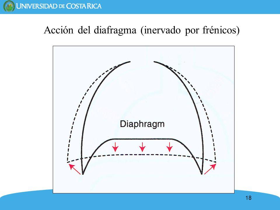 Acción del diafragma (inervado por frénicos)