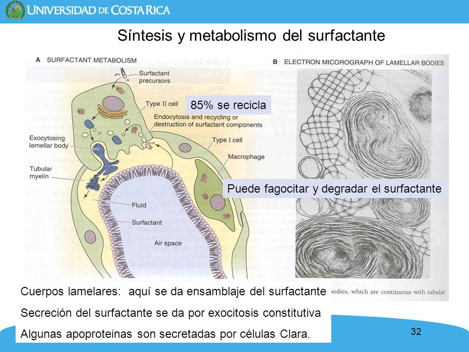 Síntesis y metabolismo del surfactante