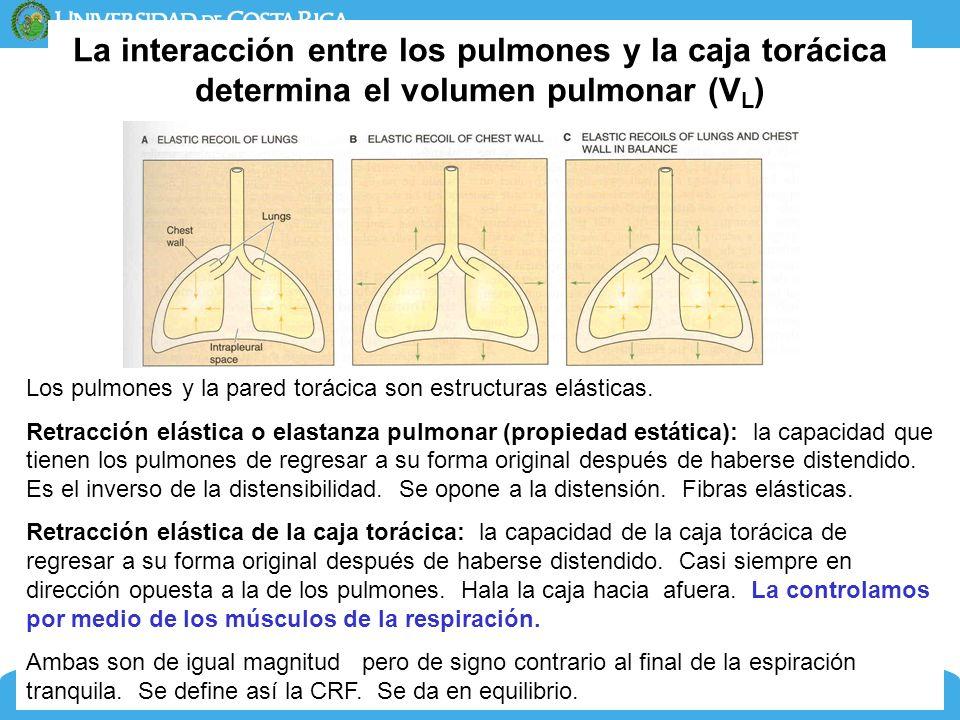 La interacción entre los pulmones y la caja torácica determina el volumen pulmonar (VL)