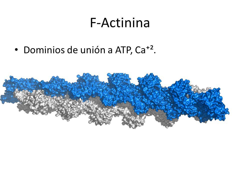 F-Actinina Dominios de unión a ATP, Ca⁺².