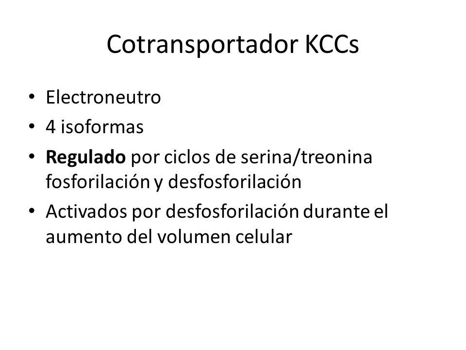 Cotransportador KCCs Electroneutro 4 isoformas