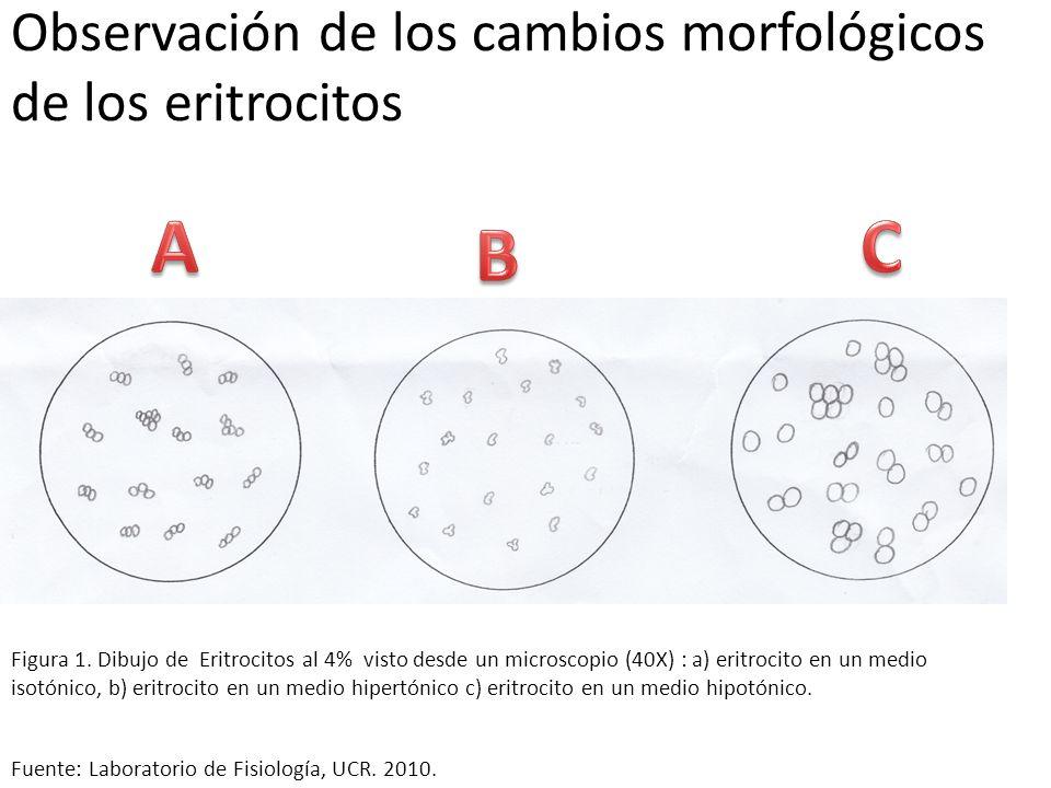 Observación de los cambios morfológicos de los eritrocitos