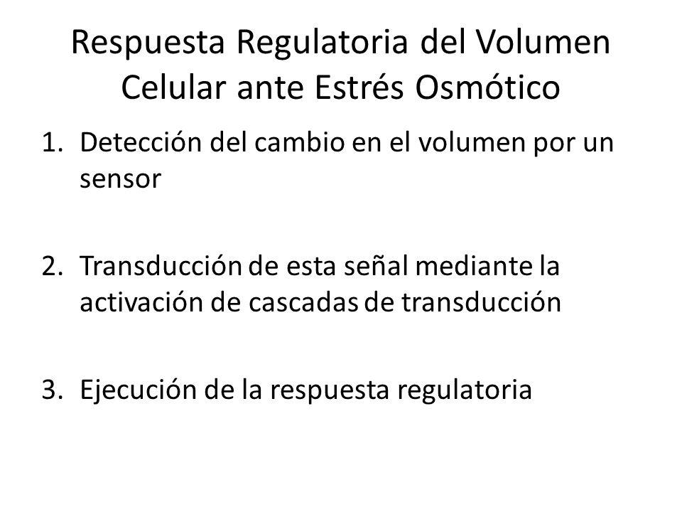 Respuesta Regulatoria del Volumen Celular ante Estrés Osmótico