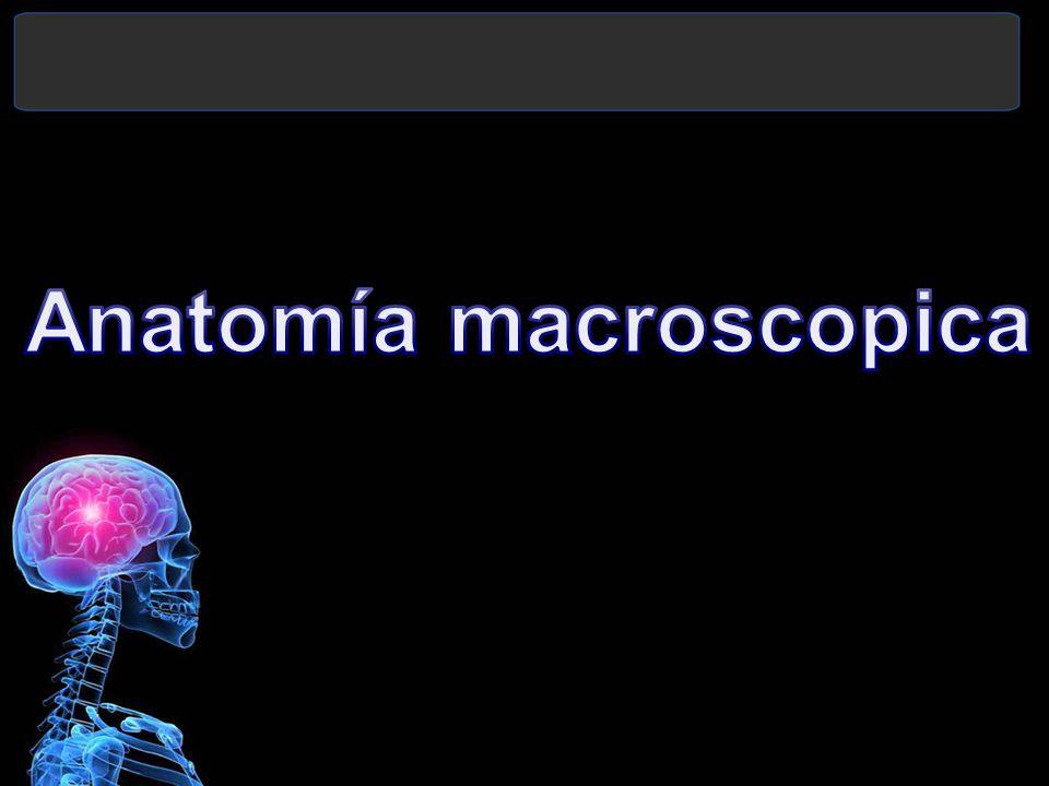 Anatomía macroscopica