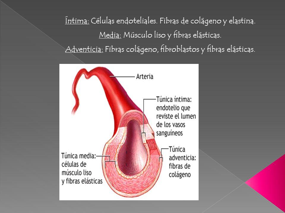Íntima: Células endoteliales. Fibras de colágeno y elastina.
