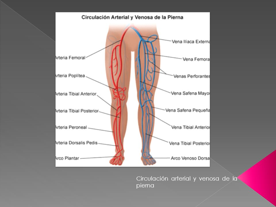 Circulación arterial y venosa de la pierna