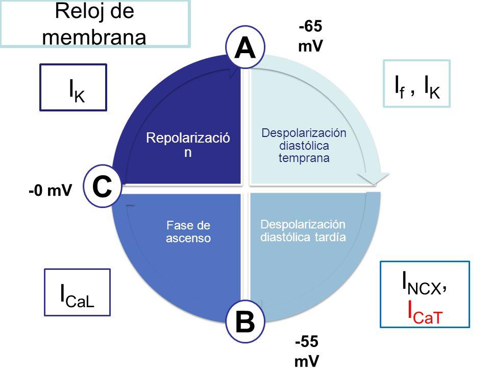 A C B If , IK IK INCX, ICaT ICaL Reloj de membrana -65 mV -0 mV -55 mV