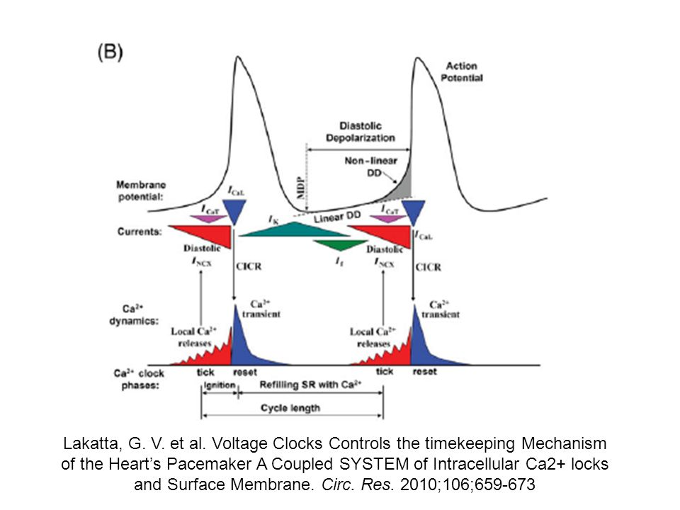 Lakatta, G. V. et al. Voltage Clocks Controls the timekeeping Mechanism of the Heart's Pacemaker A Coupled SYSTEM of Intracellular Ca2+ locks and Surface Membrane. Circ. Res. 2010;106;659-673