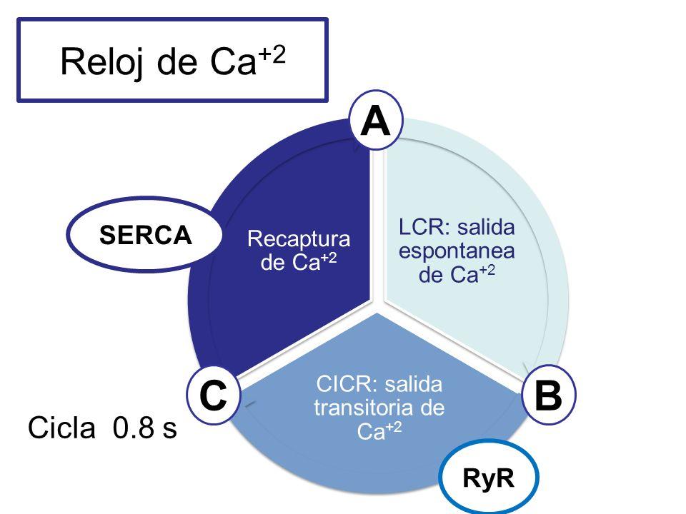 A C B Reloj de Ca+2 Cicla 0.8 s SERCA RyR 19