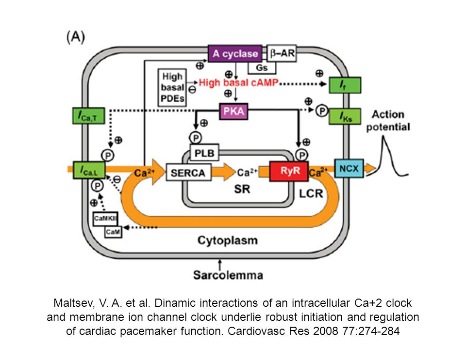 Maltsev, V. A. et al. Dinamic interactions of an intracellular Ca+2 clock and membrane ion channel clock underlie robust initiation and regulation of cardiac pacemaker function. Cardiovasc Res :
