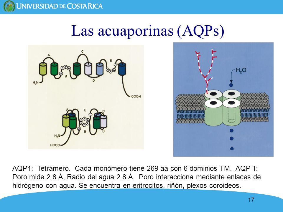 Las acuaporinas (AQPs)