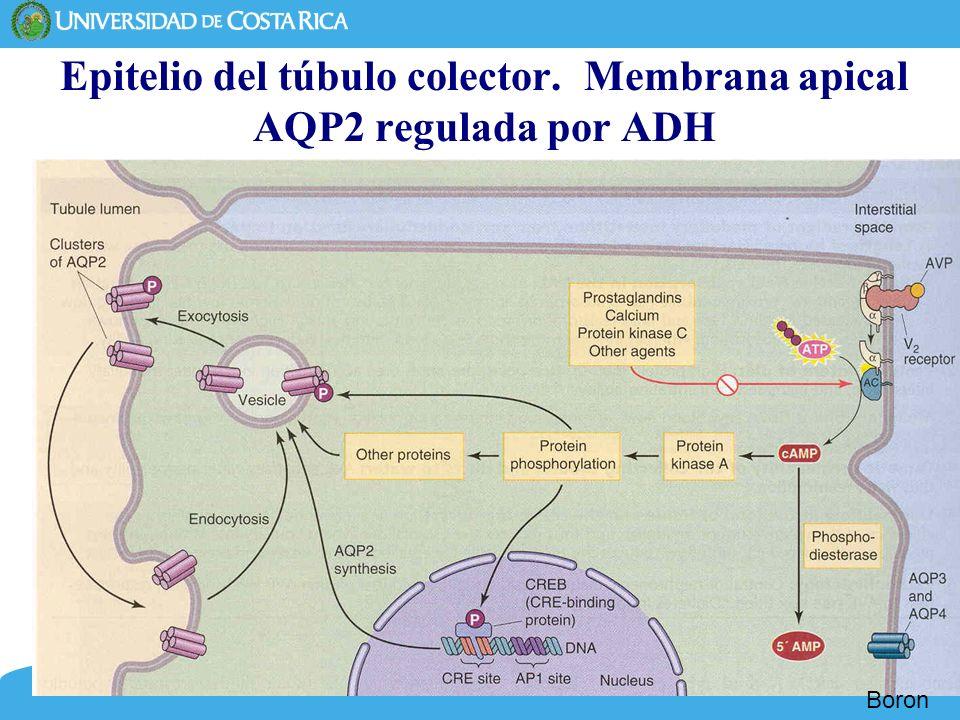 Epitelio del túbulo colector. Membrana apical AQP2 regulada por ADH