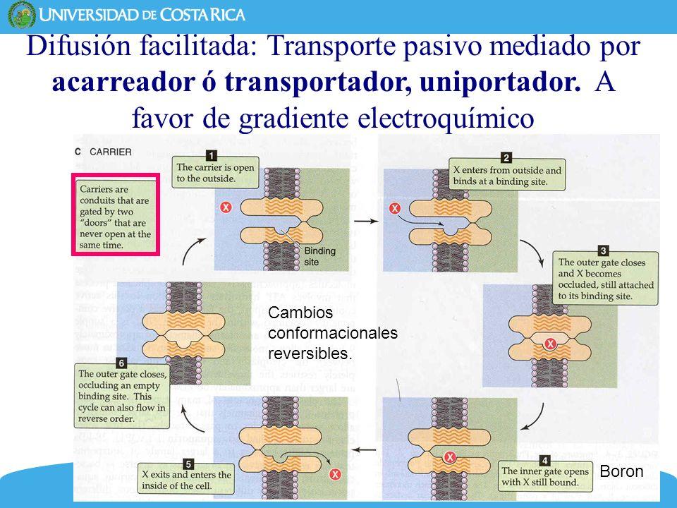 Difusión facilitada: Transporte pasivo mediado por acarreador ó transportador, uniportador. A favor de gradiente electroquímico