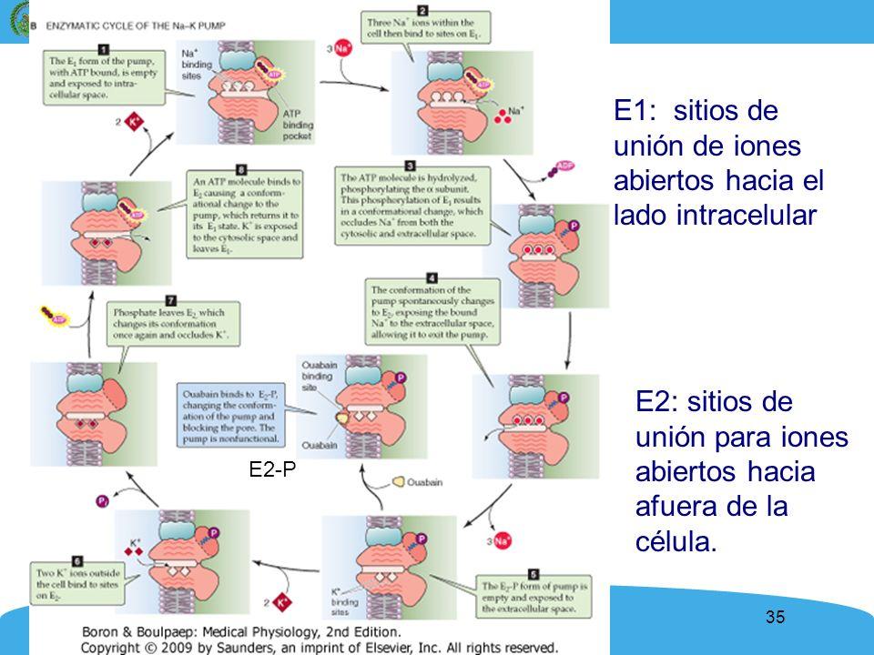 E1: sitios de unión de iones abiertos hacia el lado intracelular