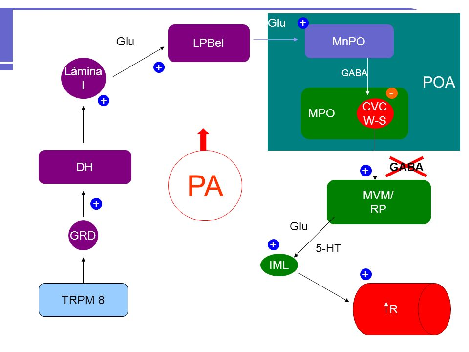 PA POA Glu + LPBel MnPO Glu Lámina + I - + MPO CVC W-S FC DH GABA +