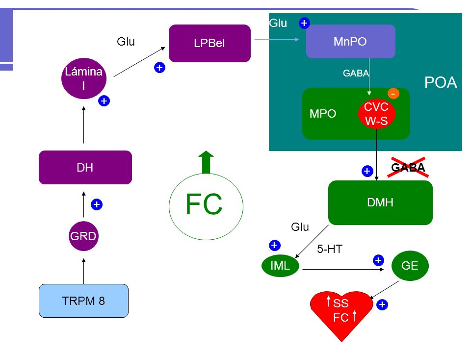 FC POA Glu + LPBel MnPO Glu Lámina + I - + MPO CVC W-S DH GABA + DMH +