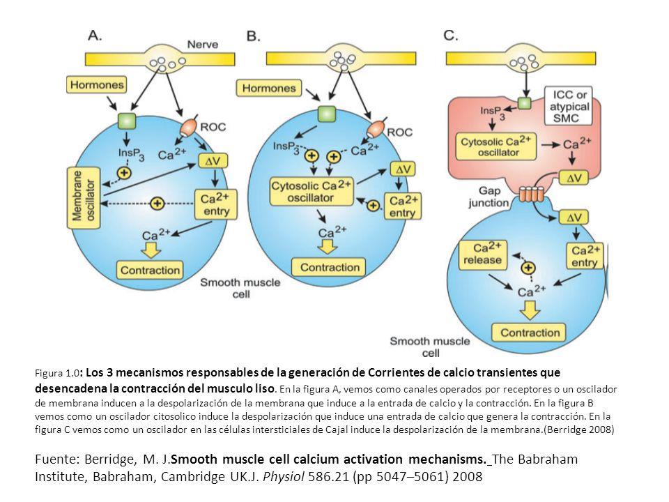 Figura 1.0: Los 3 mecanismos responsables de la generación de Corrientes de calcio transientes que desencadena la contracción del musculo liso. En la figura A, vemos como canales operados por receptores o un oscilador de membrana inducen a la despolarización de la membrana que induce a la entrada de calcio y la contracción. En la figura B vemos como un oscilador citosolico induce la despolarización que induce una entrada de calcio que genera la contracción. En la figura C vemos como un oscilador en las células intersticiales de Cajal induce la despolarización de la membrana.(Berridge 2008)