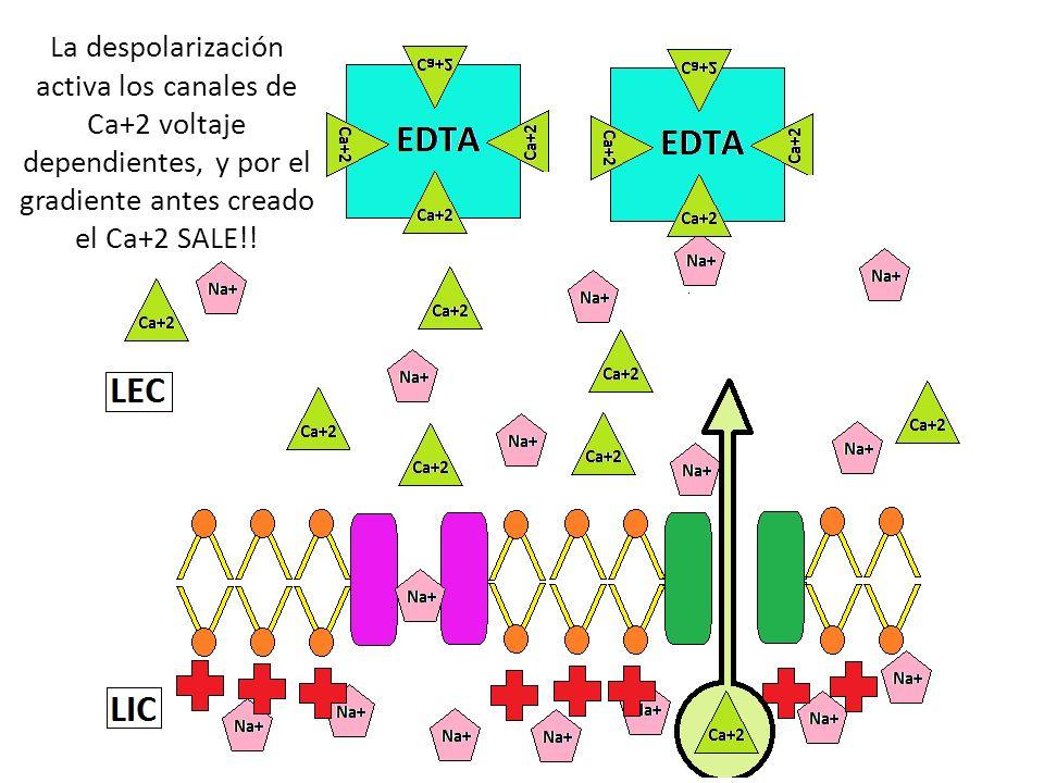 La despolarización activa los canales de Ca+2 voltaje dependientes, y por el gradiente antes creado el Ca+2 SALE!!