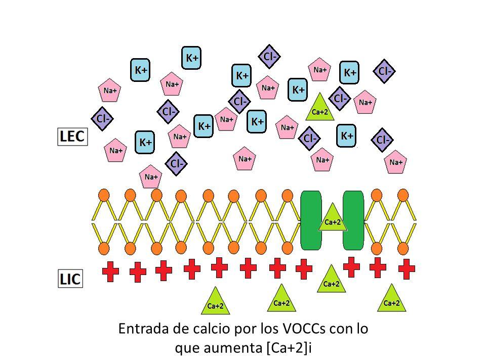 Entrada de calcio por los VOCCs con lo