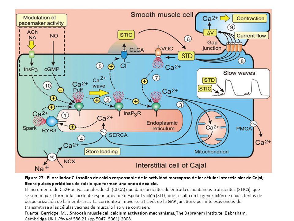 Los receptores de rianodina Tipo 3 liberan chispas de calcio.