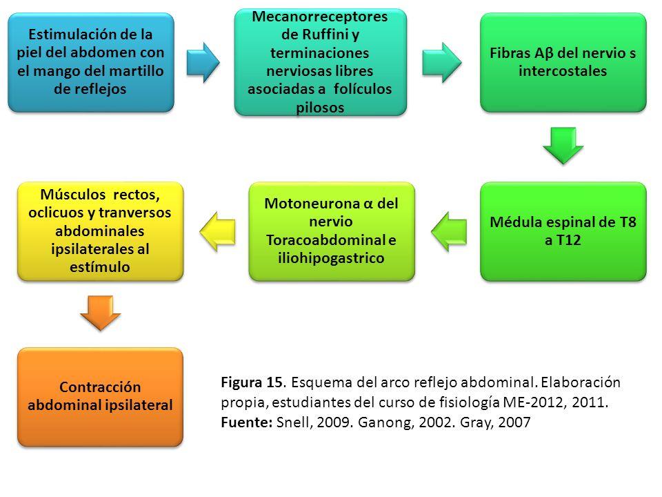 Fibras Aβ del nervio s intercostales Médula espinal de T8 a T12