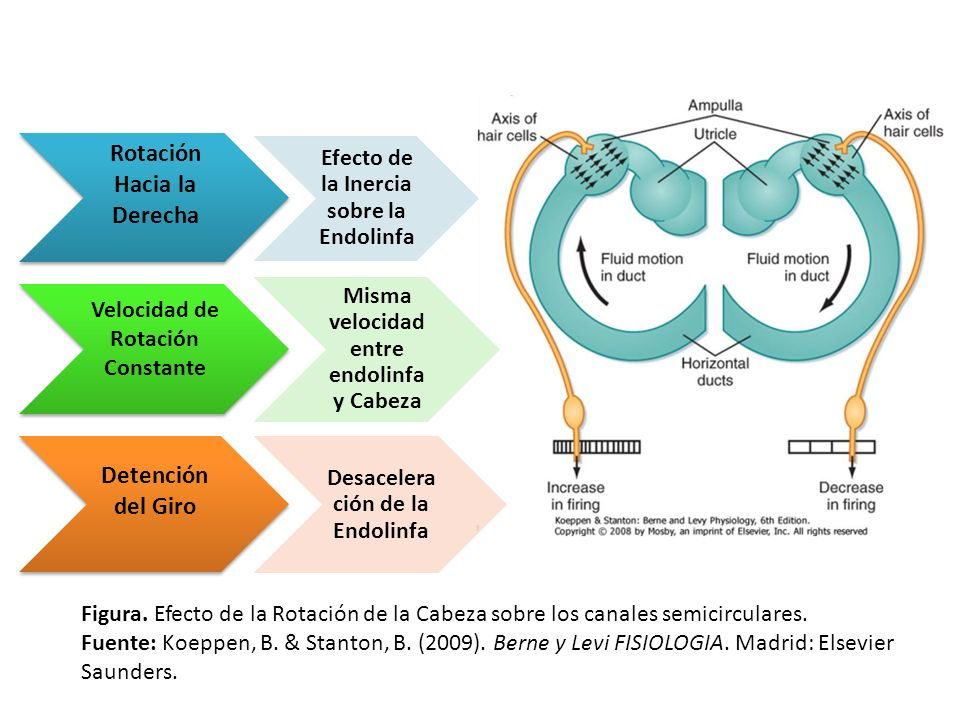 Rotación Hacia la Derecha Efecto de la Inercia sobre la Endolinfa