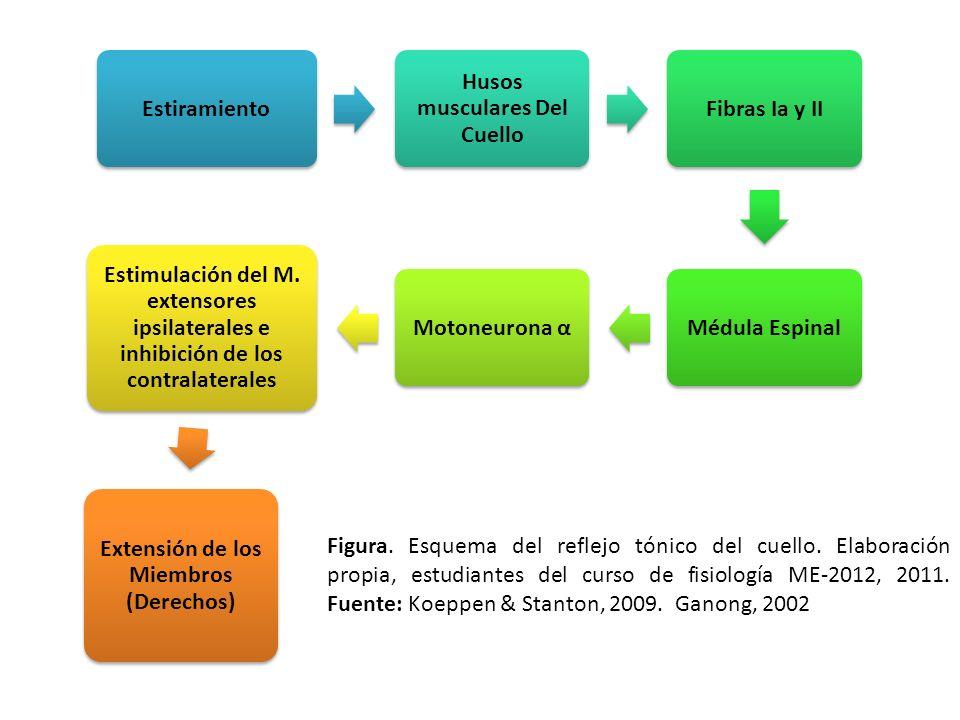 Husos musculares Del Cuello Extensión de los Miembros (Derechos)