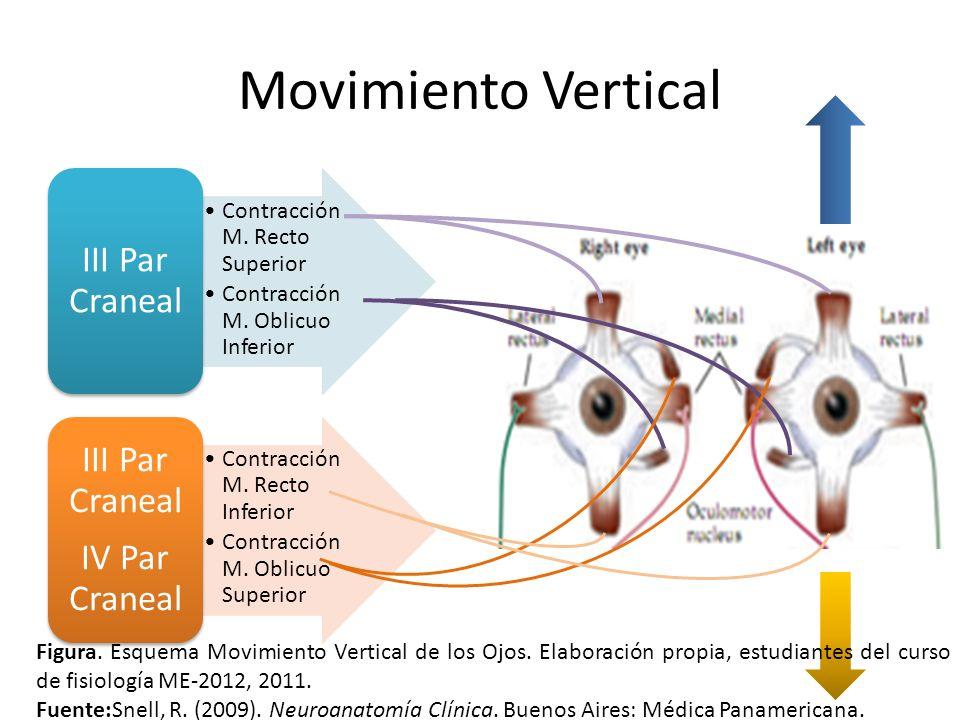 Movimiento Vertical III Par Craneal. Contracción M. Recto Superior. Contracción M. Oblicuo Inferior.