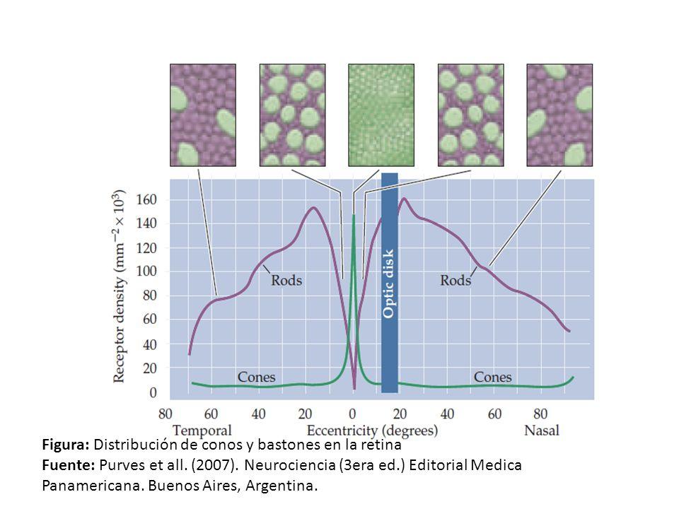 Figura: Distribución de conos y bastones en la retina
