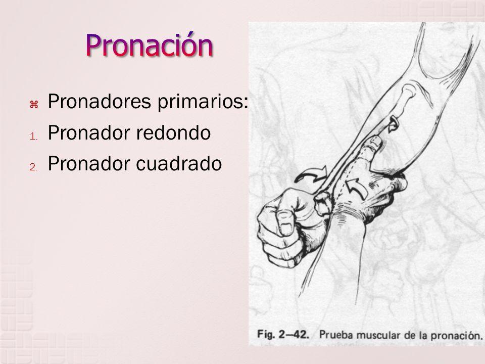 Pronación Pronadores primarios: Pronador redondo Pronador cuadrado