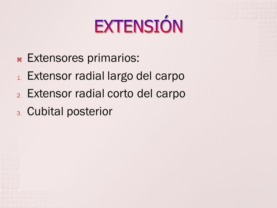 EXTENSIÓN Extensores primarios: Extensor radial largo del carpo