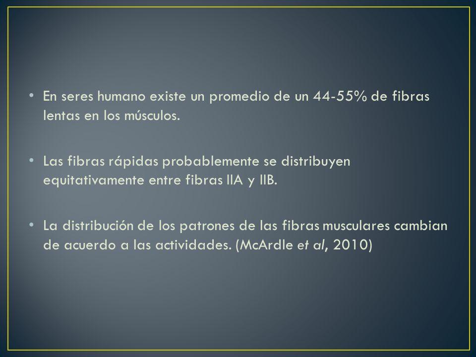 En seres humano existe un promedio de un 44-55% de fibras lentas en los músculos.