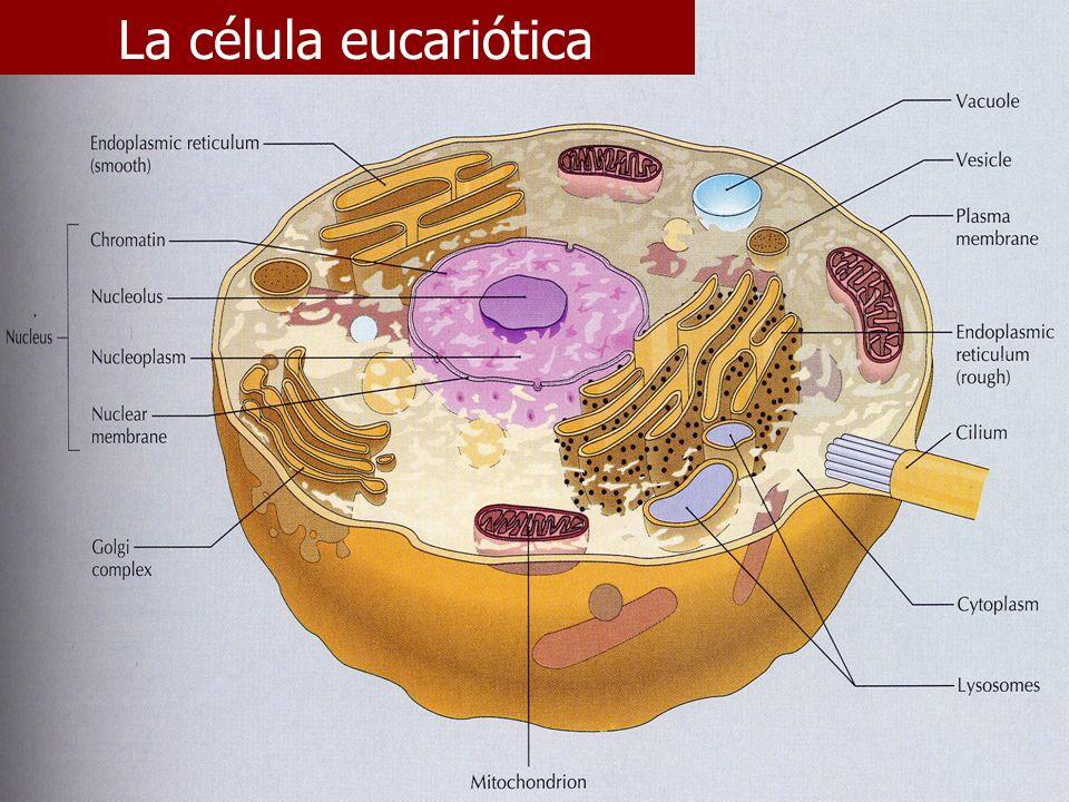 La célula eucariótica E. Rodríguez, UCR