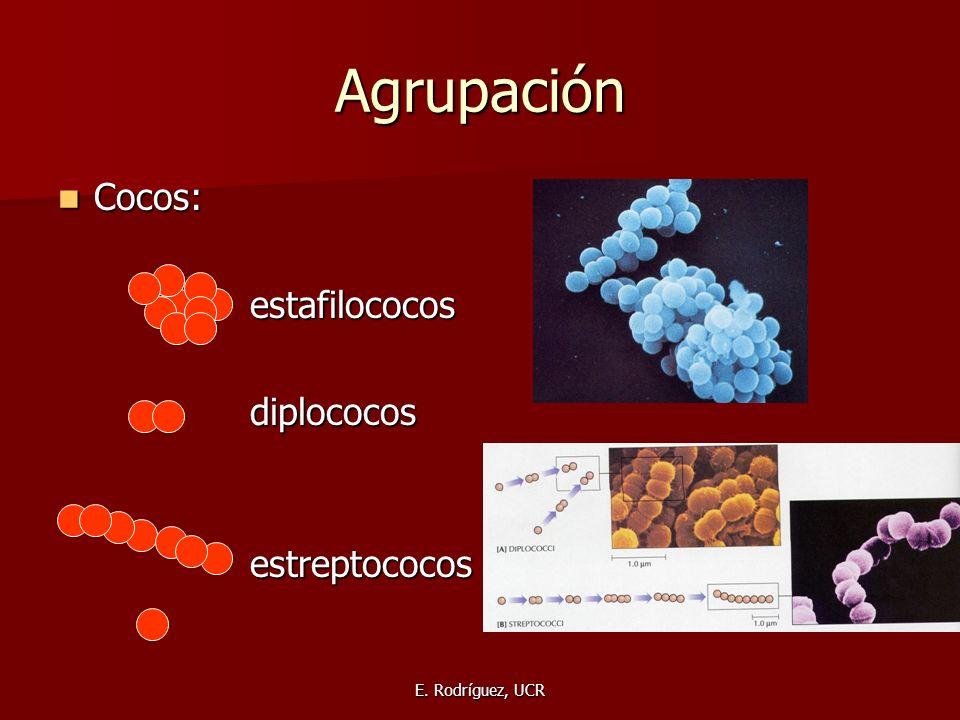 Agrupación Cocos: estafilococos diplococos estreptococos
