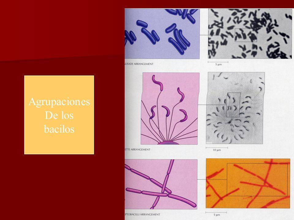 Agrupaciones De los bacilos E. Rodríguez, UCR