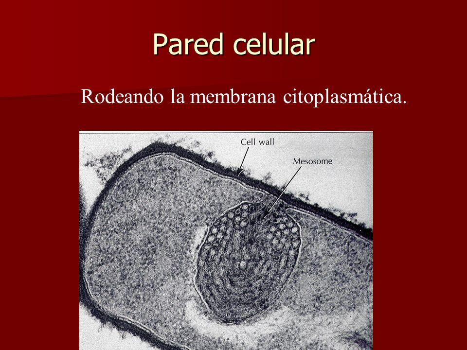 Rodeando la membrana citoplasmática.