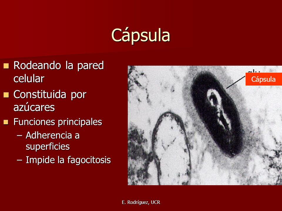 Cápsula Rodeando la pared celular Constituida por azúcares