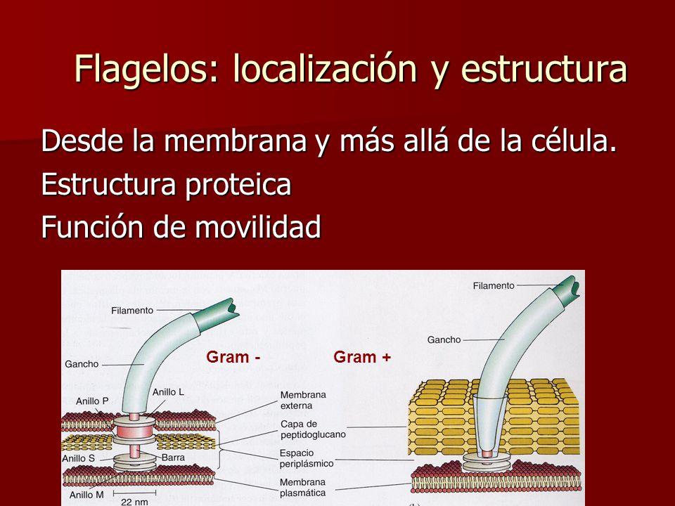 Flagelos: localización y estructura