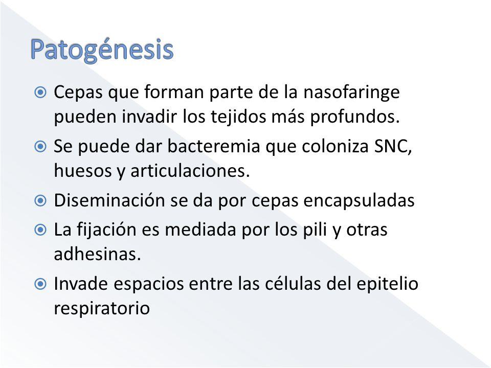 Patogénesis Cepas que forman parte de la nasofaringe pueden invadir los tejidos más profundos.
