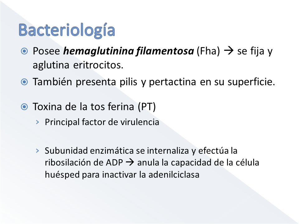 Bacteriología Posee hemaglutinina filamentosa (Fha)  se fija y aglutina eritrocitos. También presenta pilis y pertactina en su superficie.
